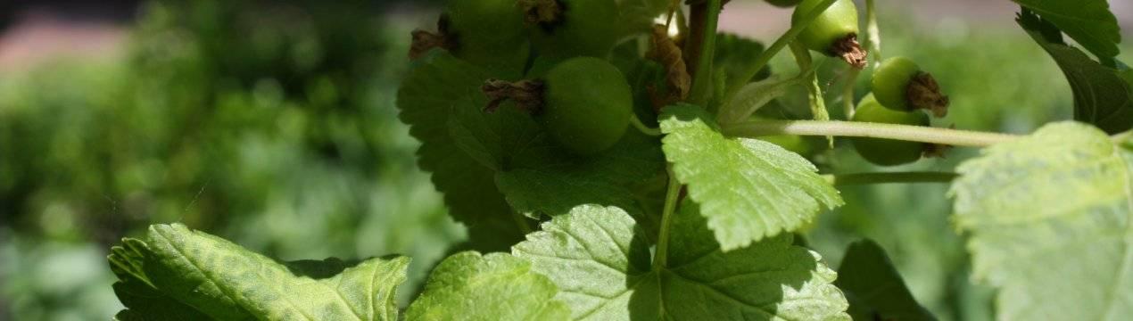 Паутинный клещ на смородине, клубнике, винограде, малине и лимоне: как бороться? русский фермер