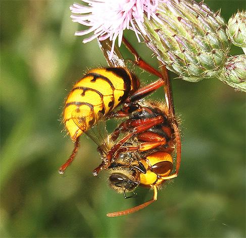 Синдром разрушения пчелиных семей (слет пчел), симптомы болезни, профилактика.