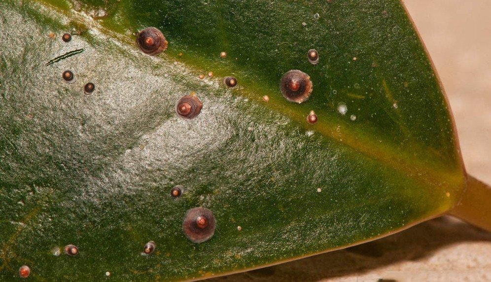 Щитовка на комнатных растениях и способы борьбы