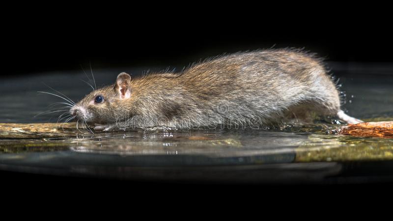Купание декоративной крысы в домашних условиях - люблю хомяков