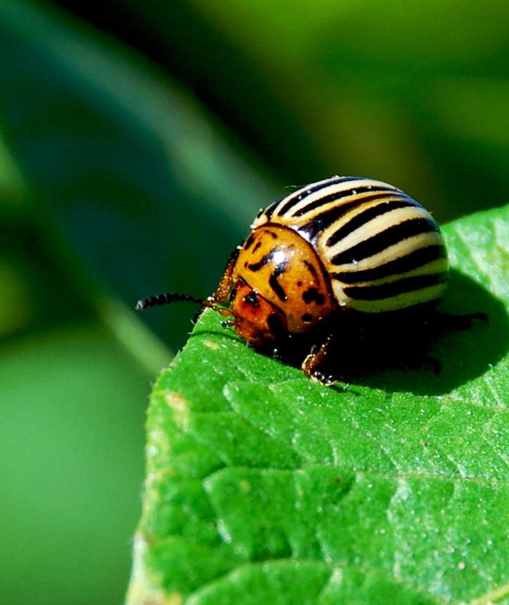 Колорадский жук: народные средства и рецепты, химические препараты