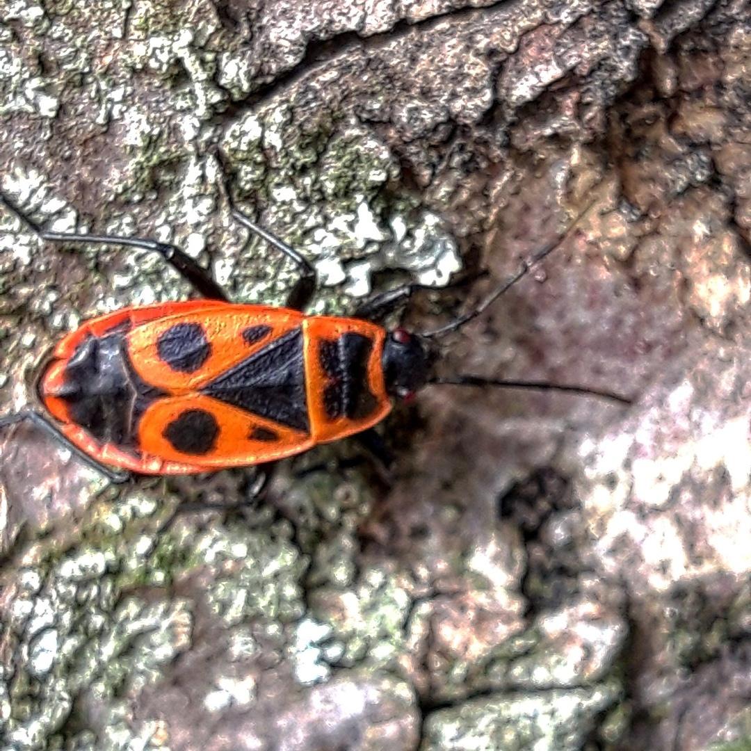 Майский жук – польза и вред для человека
