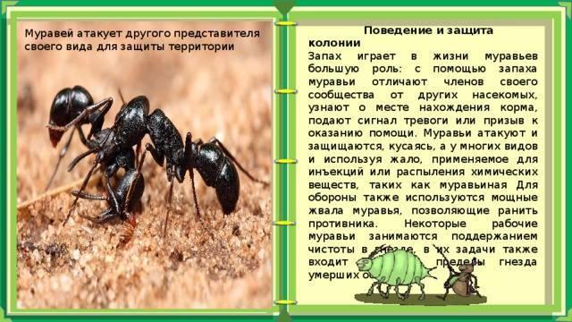 Муравьежук – главный враг вредителей хвойных лесов