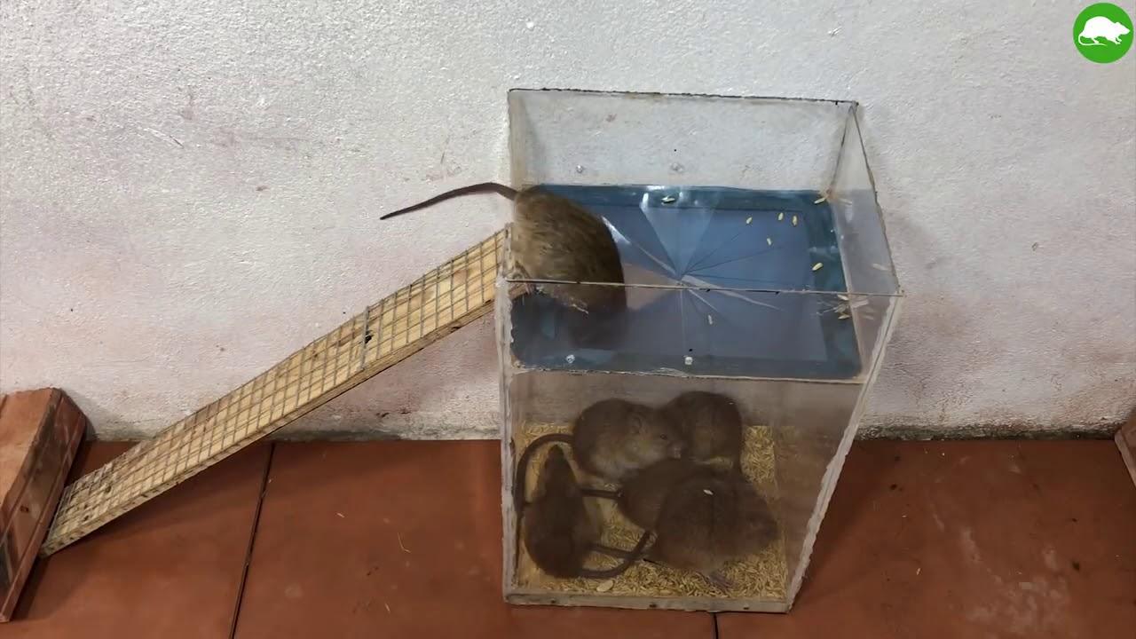 Как поймать мышь в доме и квартире без мышеловки: ловушка из пластиковой бутылки, ведра и клея
