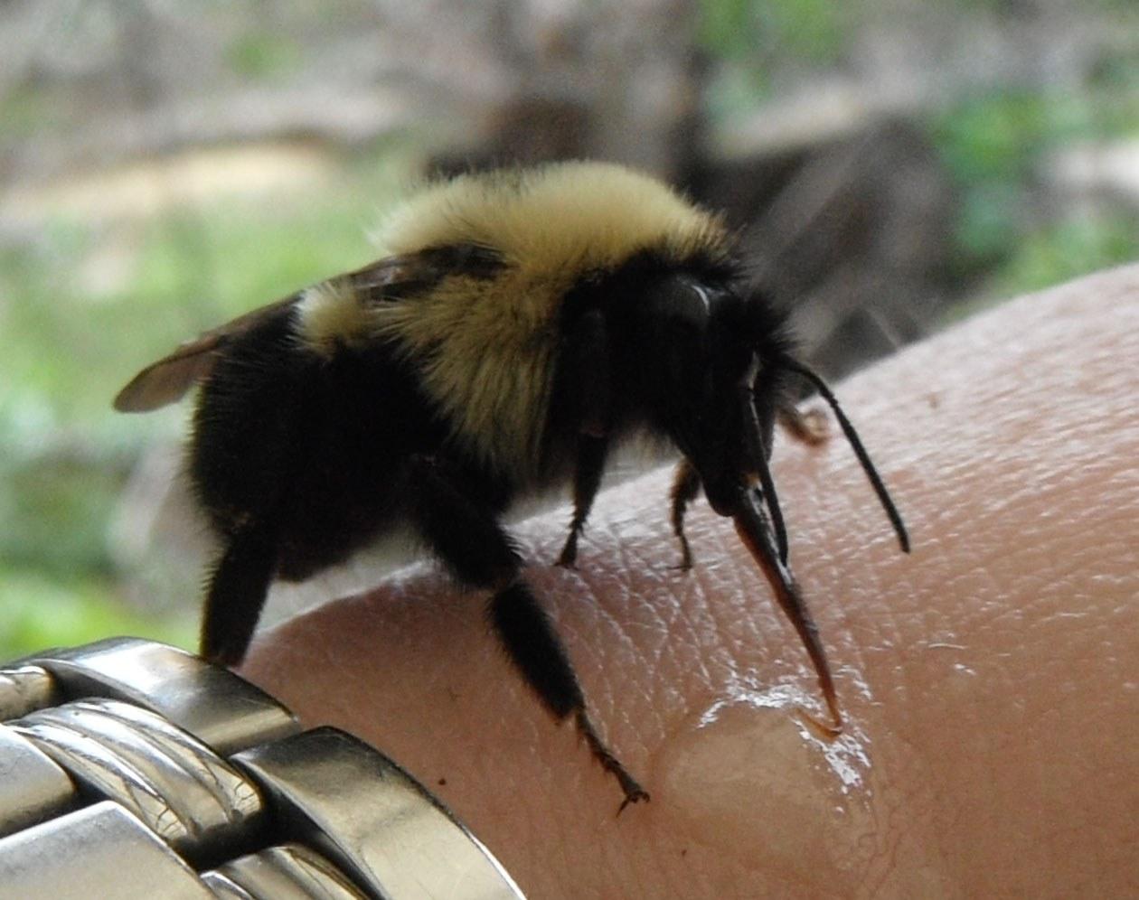 Укус шмеля и его последствия: что делать в домашних условиях, если укусило опасное насекомое?