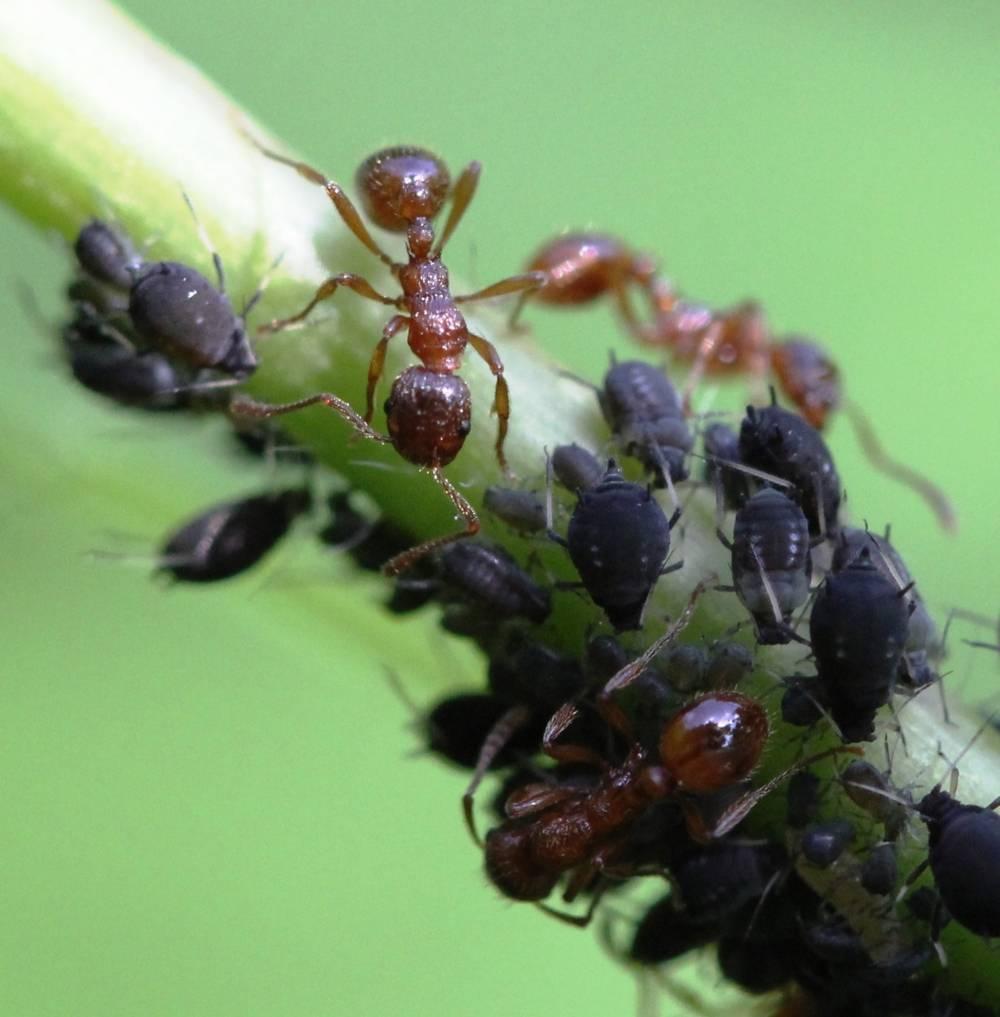 """Муравьи и тля: зачем и как первые """"пасут"""" и """"доят"""" своих """"кормилиц"""", а также тип взаимоотношений между ними, чем опасен симбиоз, как защитить деревья от этого союза?дача эксперт"""
