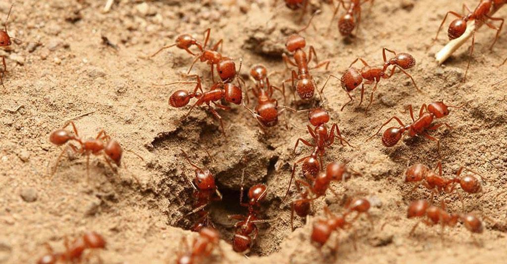 Огненные красные муравьи - фото и описание