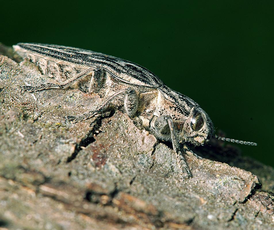Златка-медянка большая: ареал обитания и рацион питания насекомого