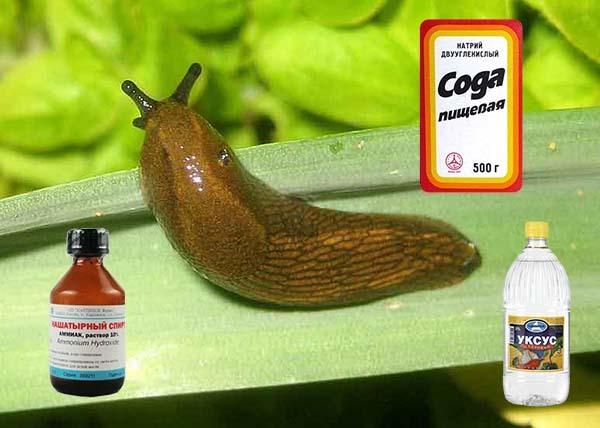 Прожорливые вредители: ловушки для слизней и другие народные средства борьбы со слизняками