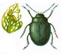 Вредители капусты и борьба с ними: фото и описание капустных вредителей, обработка капусты