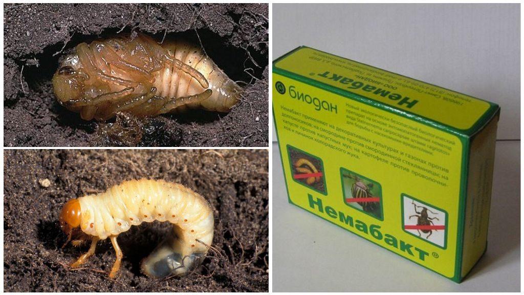 Как бороться с личинками майского жука на клубнике
