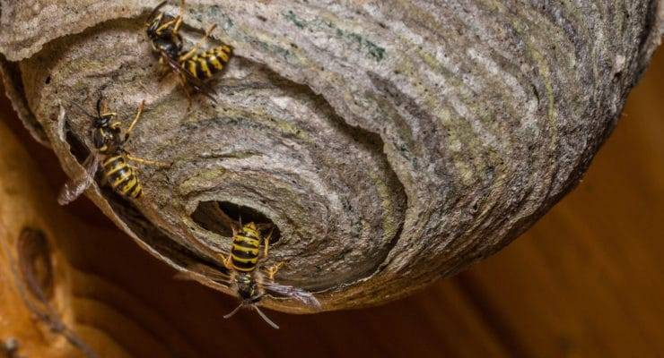 Земляные осы