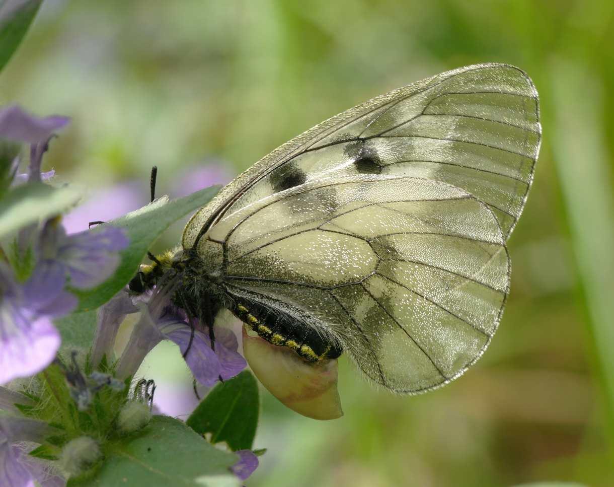 Бабочка – описание, виды, чем питается, где обитает, фото