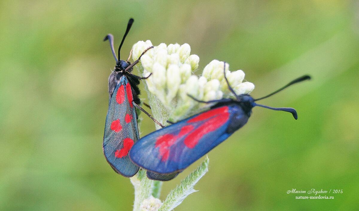 Бабочка пестрянка — описание, среда обитания, виды