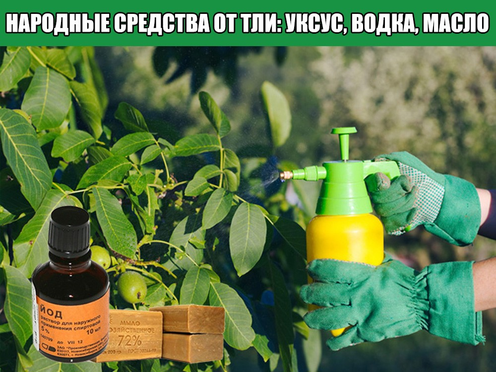 Как бороться с тлей на даче и огороде, чем обработать растения: препараты и народные средства
