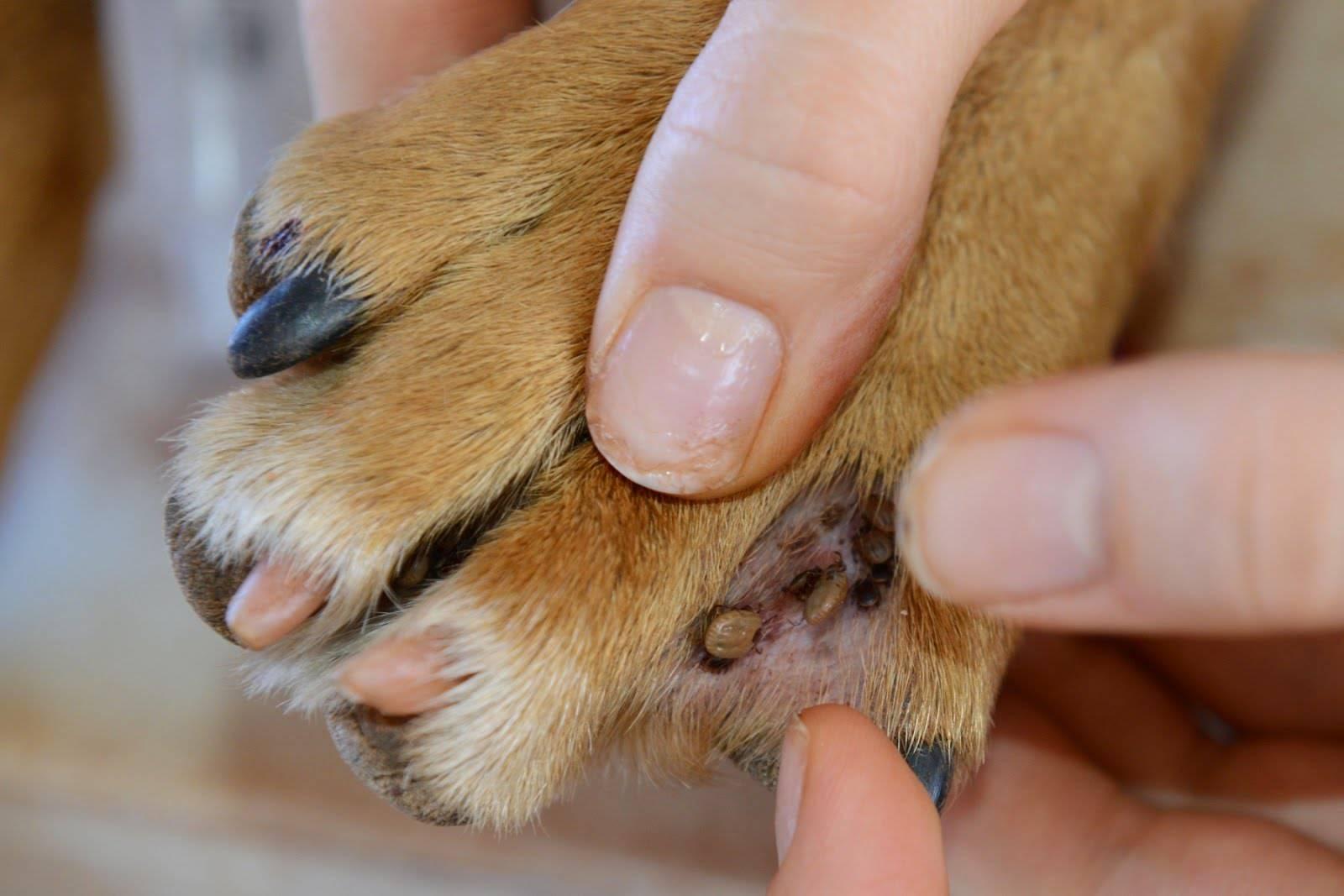 Собакам мухи кусают уши: что делать, меры профилактики