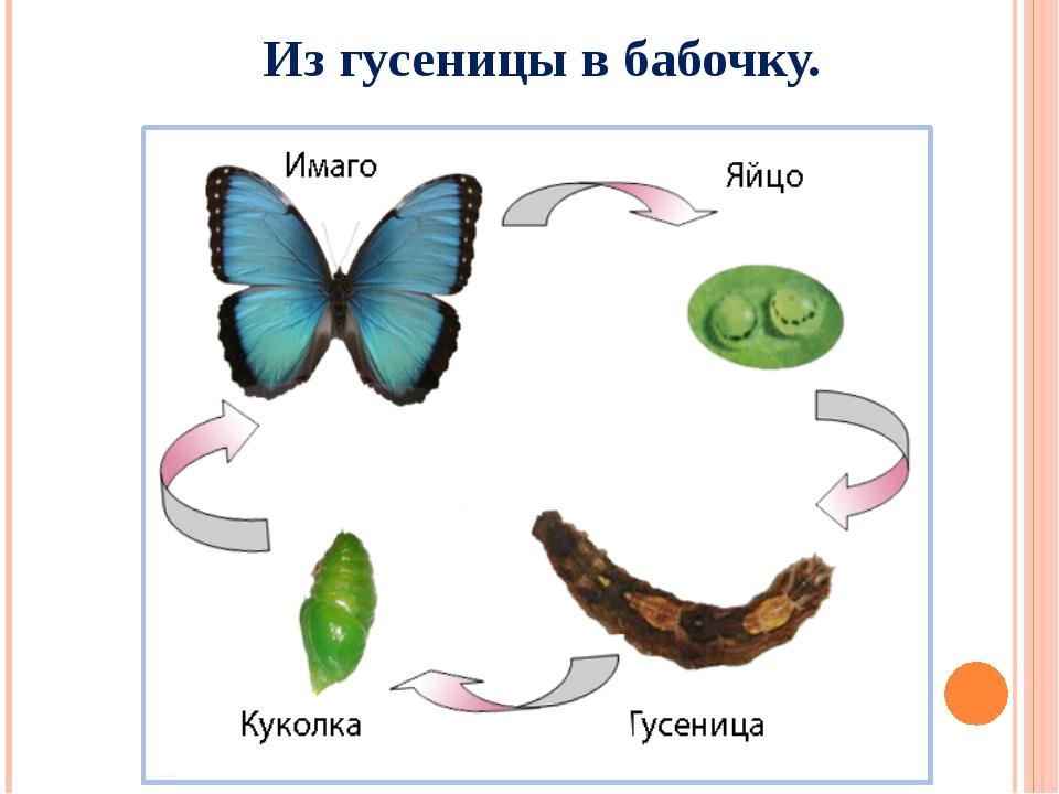 Гусеница: стадии превращения в бабочку, этапы развития куколки