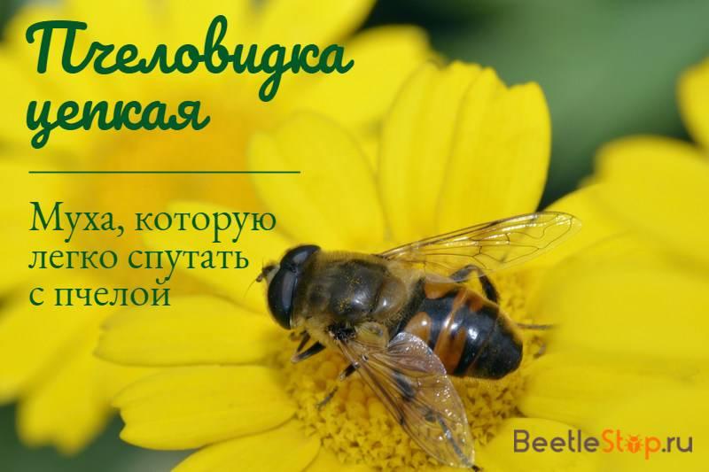 Все о медоносной пчеле