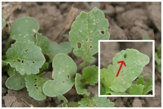 Чем опрыскать растения от крестоцветной блошки? эффективные препараты