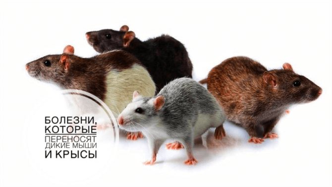 Мышиная лихорадка: симптомы и лечение у мужчин, женщин и детей, как передается - medside.ru