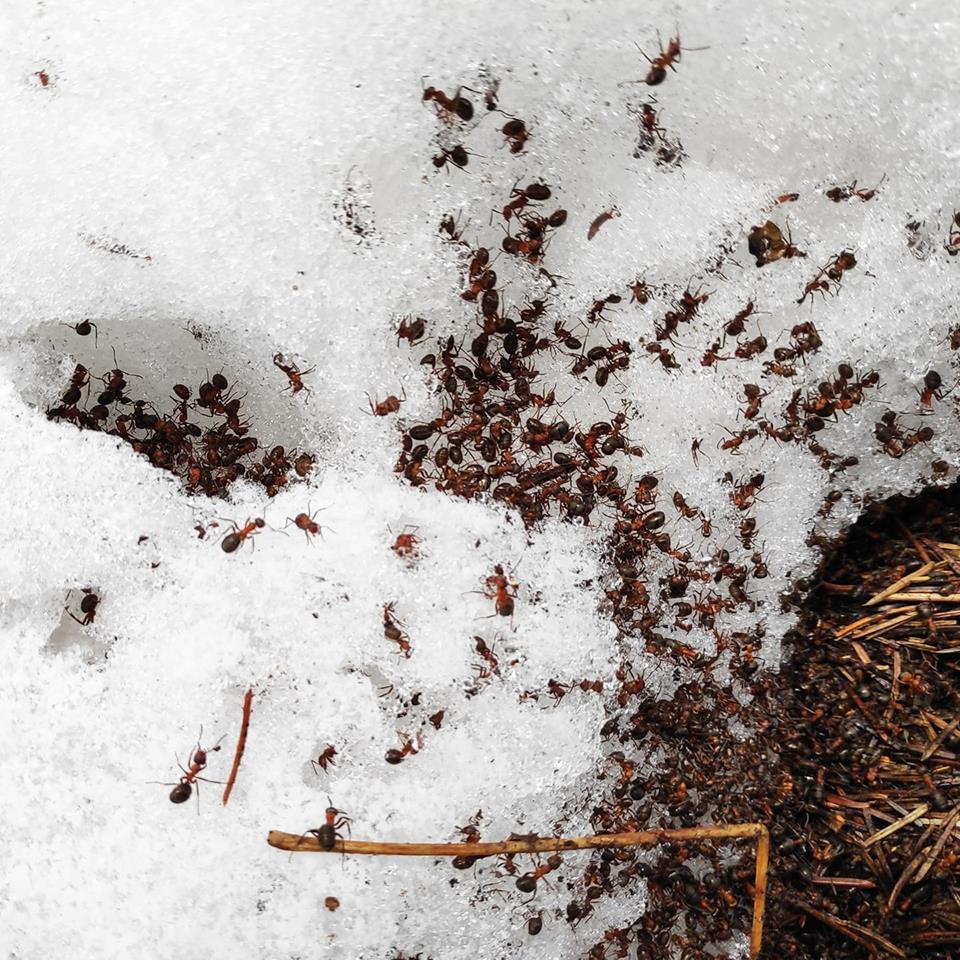 Как зимуют муравьи. что делают муравьи зимой   дачная жизнь