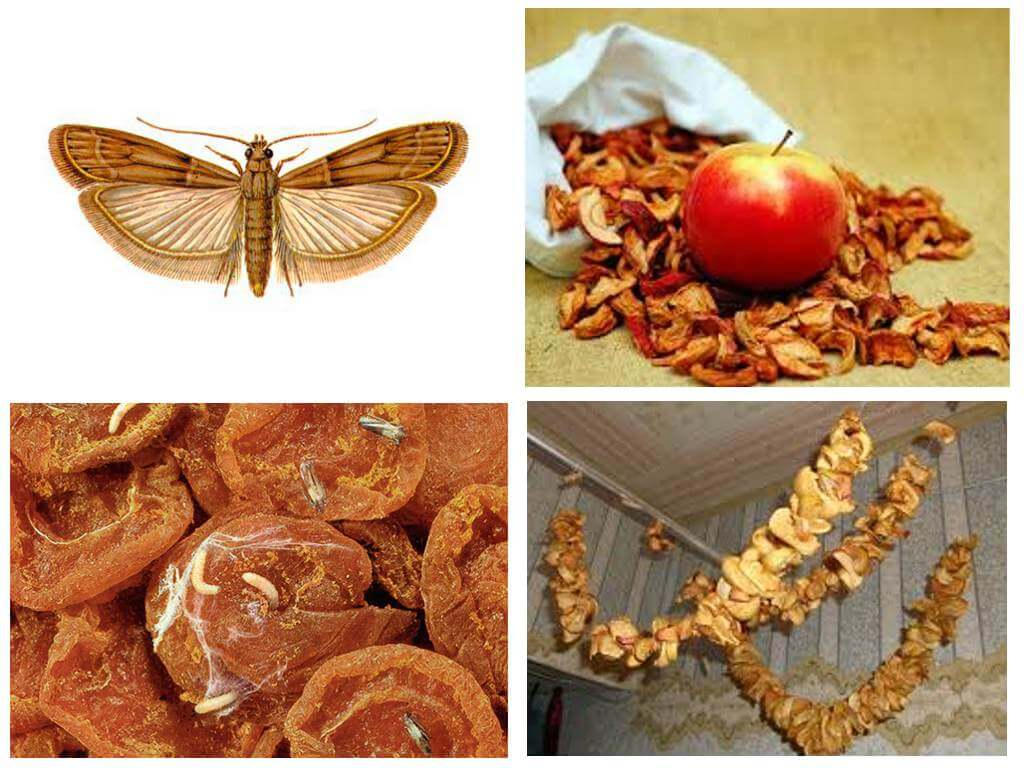 Как хранить сушеные яблоки в домашних условиях, в квартире, чтобы не завелась моль