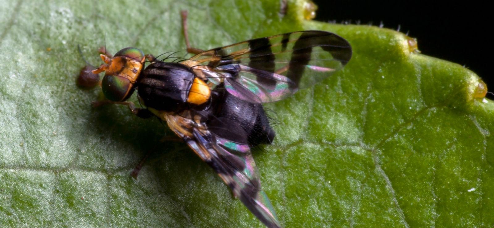 Вишневая муха: профилактика и средства борьбы