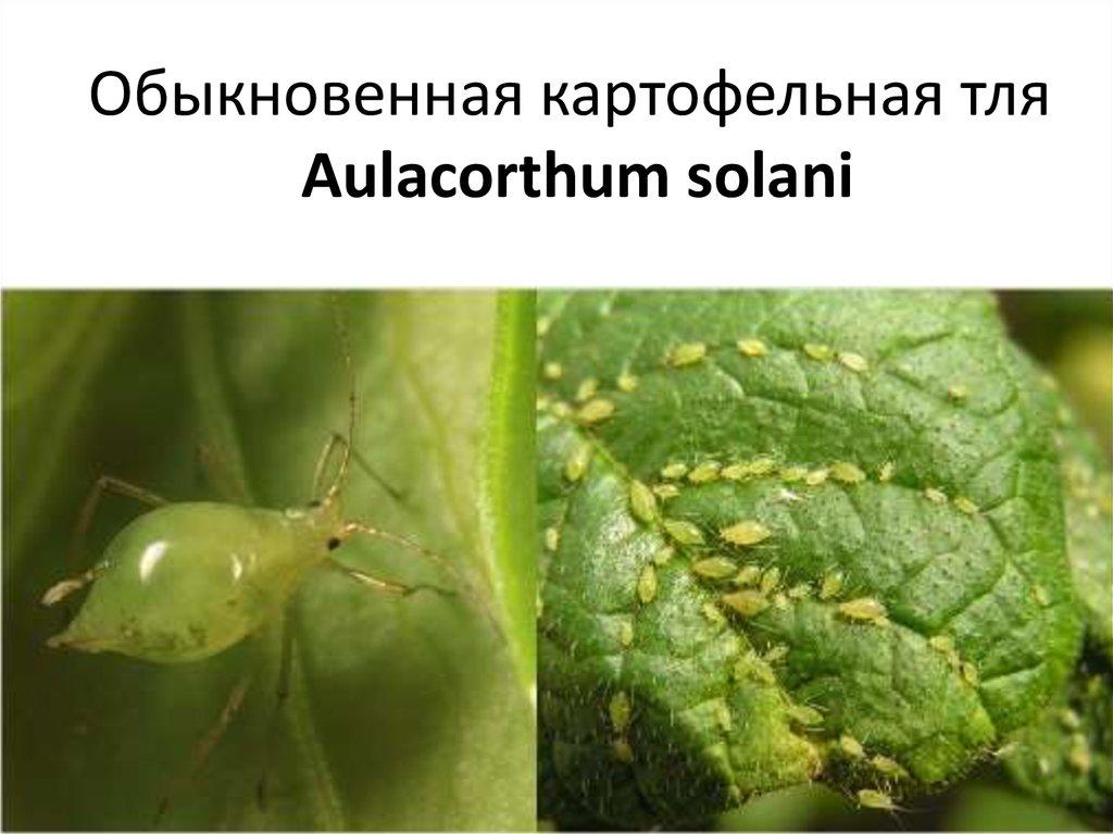 Методы, способы как избавиться, бороться с тлей и чем обрабатывать растения против тли русский фермер
