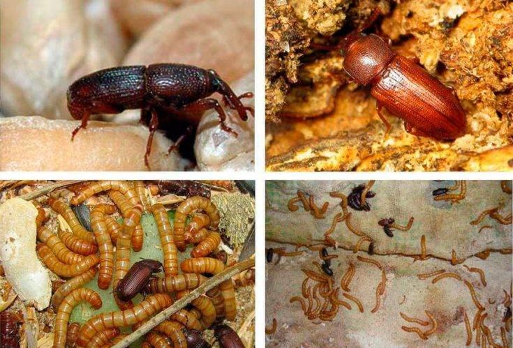 Хрущак мучной малый меры борьбы. мучной хрущак в квартире: как избавиться? чем вредны и опасны насекомые