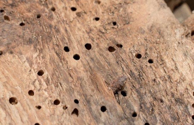 Жук древоточец – выявляем и уничтожаем