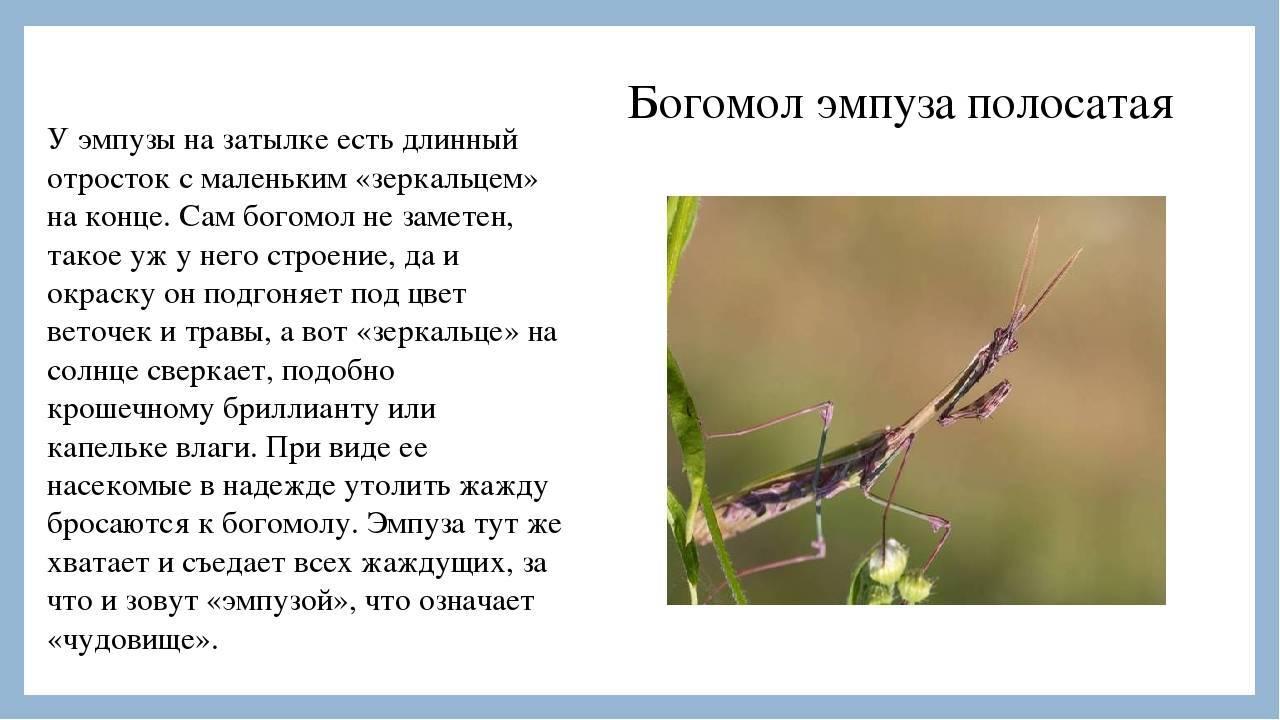 10 интересных фактов о богомолах • всезнаешь.ру