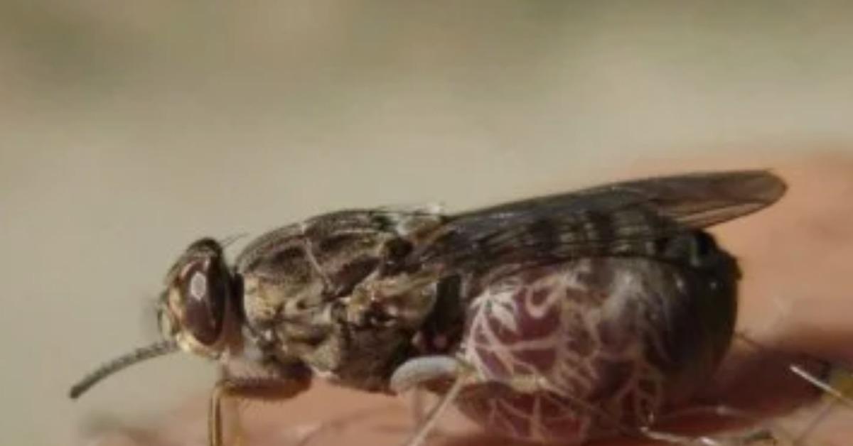6 фактов о мухе цеце: справка, виды, опасность, интересные факты