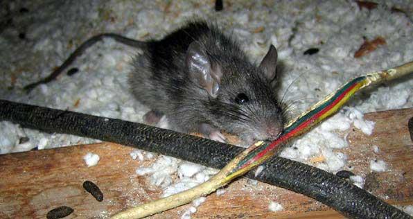 Крысы в машине под капотом: откуда берутся и как вывести / как избавится от насекомых в квартире