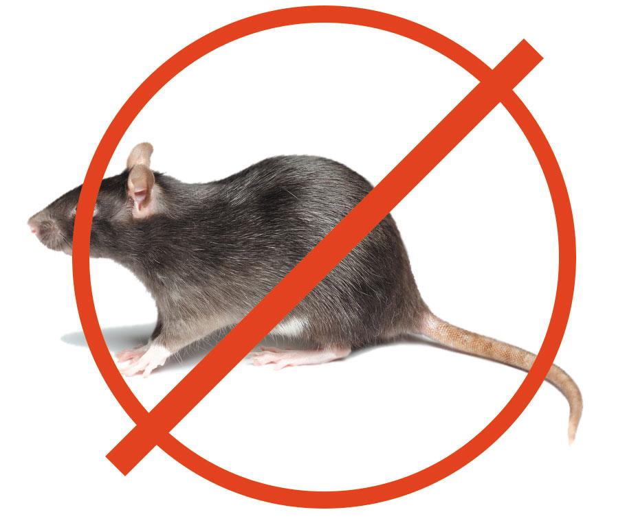 Как избавиться от крыс в доме: 5 эффективных средств