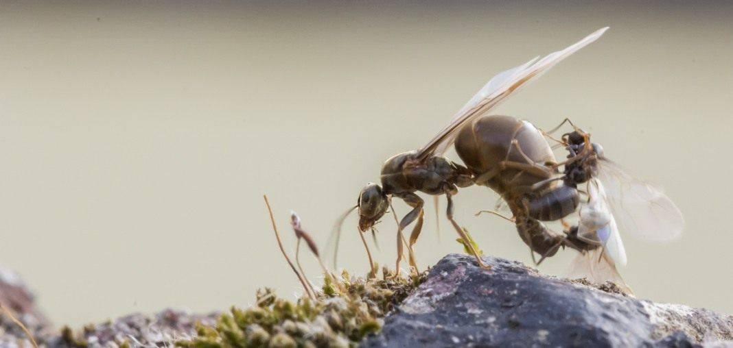 Как избавиться от муравьев: навсегда, в огороде, народные средства