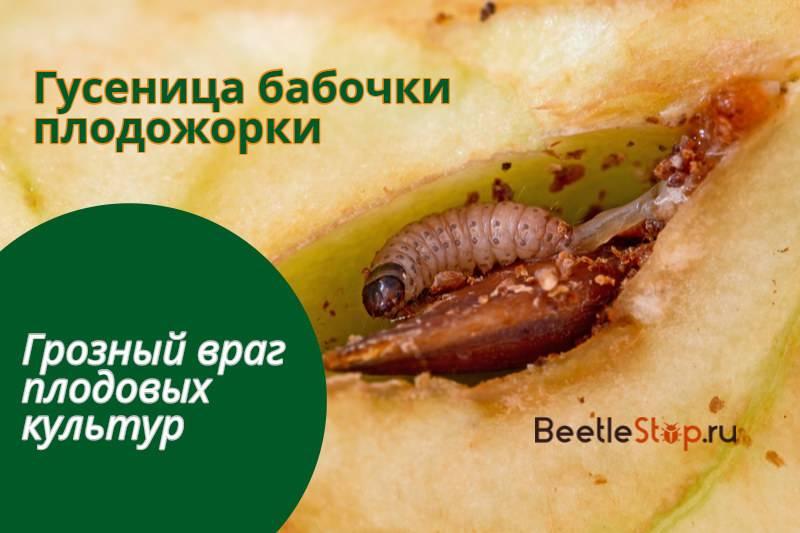 Яблонная плодожорка: как бороться на supersadovnik.ru