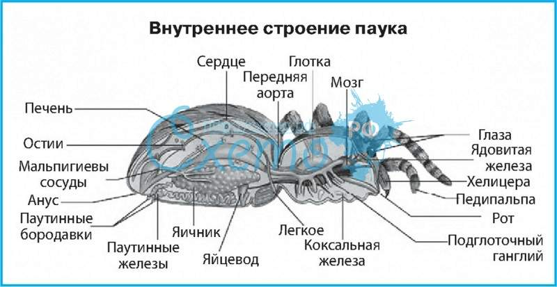 Паук — внешнее и внутреннее строение тела на примере паука крестовика, особенности жизнедеятельности, поведения: схема с надписями и описанием — женские советы