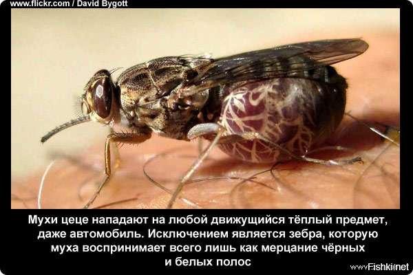 Какие мухи являются переносчиками заболеваний, и какие болезни они переносят
