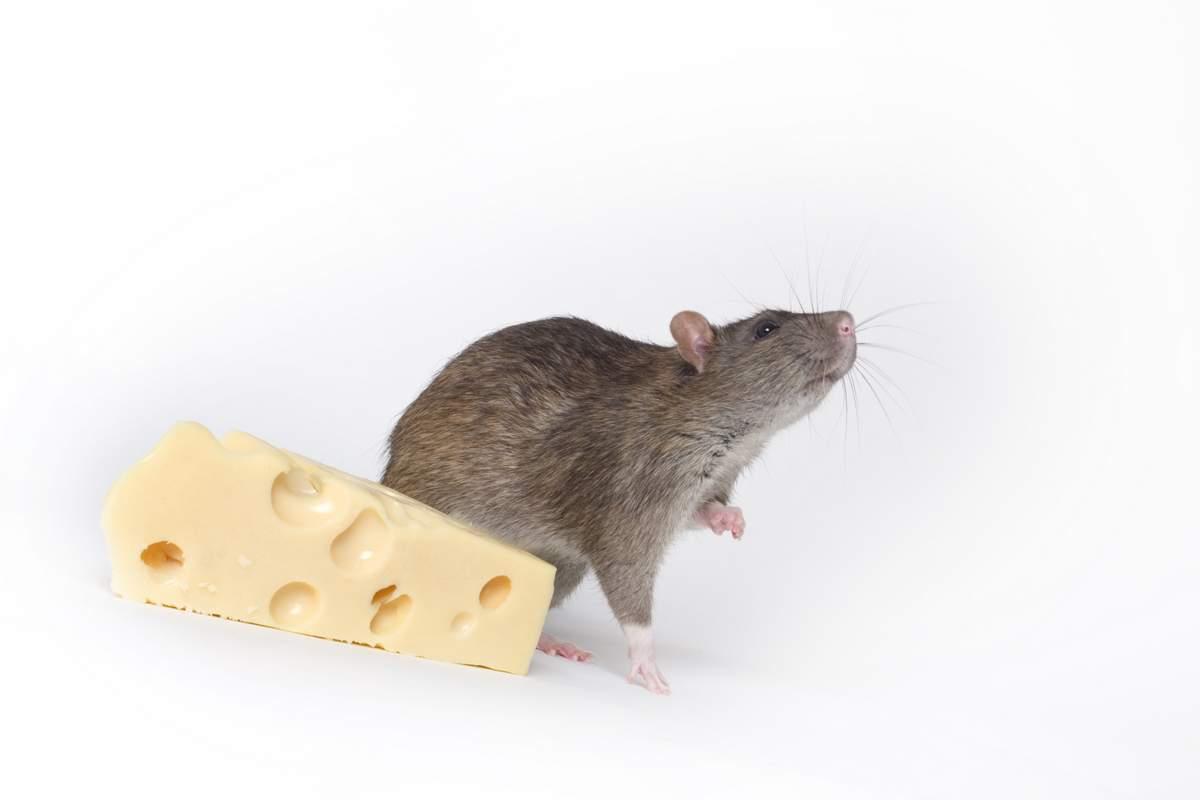 Приманка для крыс и мышей: что эти грызуны любят больше всего и на что их лучше ловить