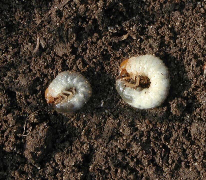 Личинка майского жука - как выглядит на фото, как отличить от медведки? русский фермер