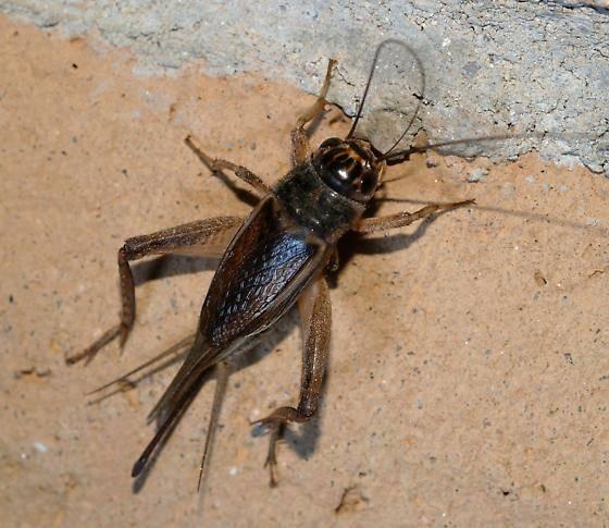 Сверчок насекомое. образ жизни и среда обитания сверчка   живность.ру