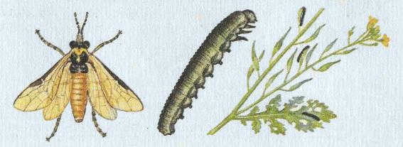 Борьба с капустным обжорой: рапсовый пилильщик. мероприятия по борьбе с рапсовым пилильщиком и рапсовым цветоедом яблонный плодовый пилильщик