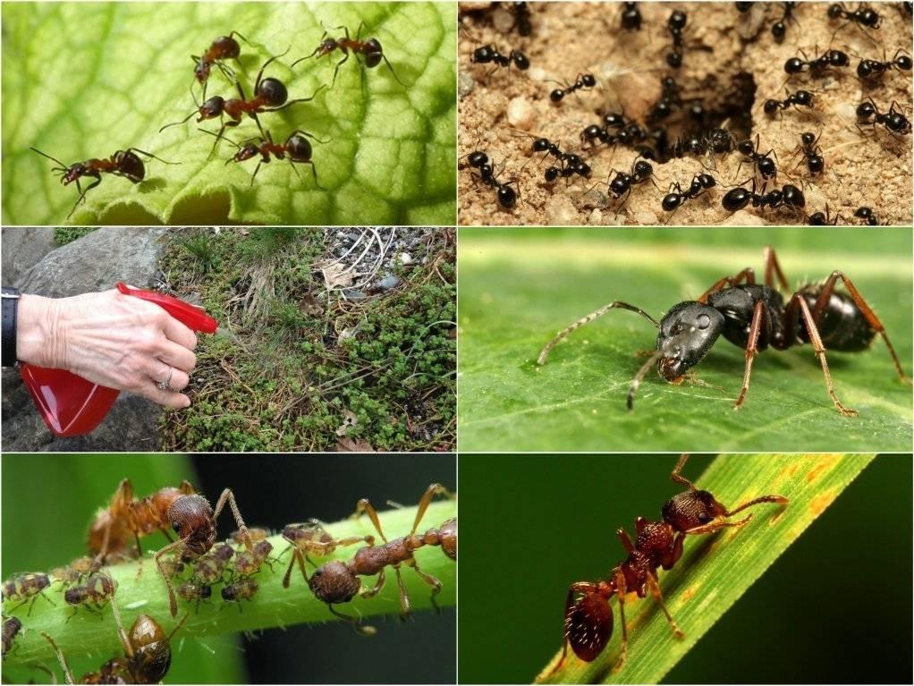 Как избавиться от муравьев на садовых деревьях