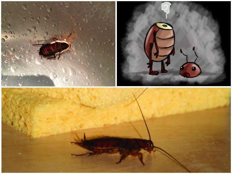 Сколько живут тараканы. продолжительность жизни таракана