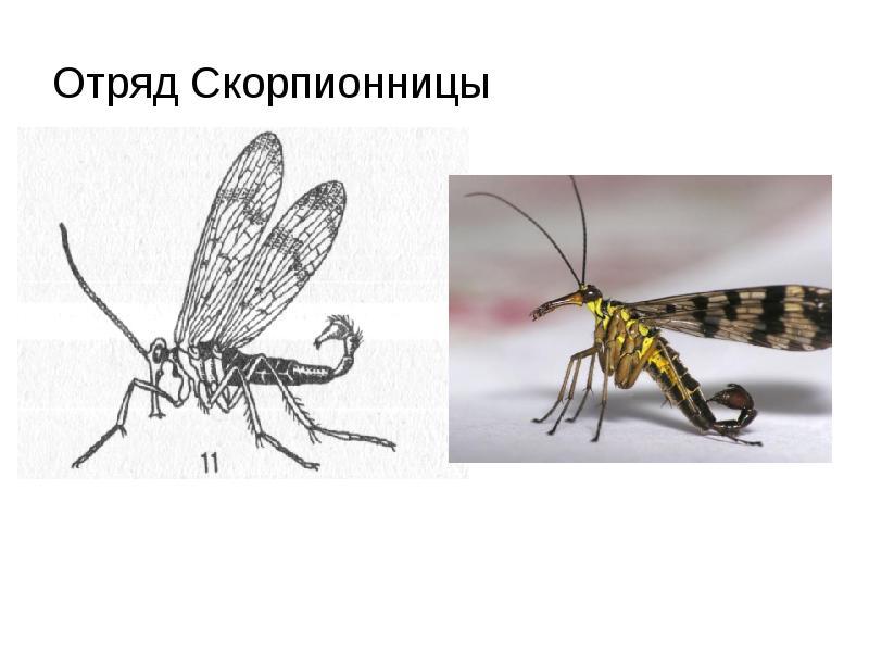 Скорпион животное. описание, особенности, виды, образ жизни и среда обитания скорпиона