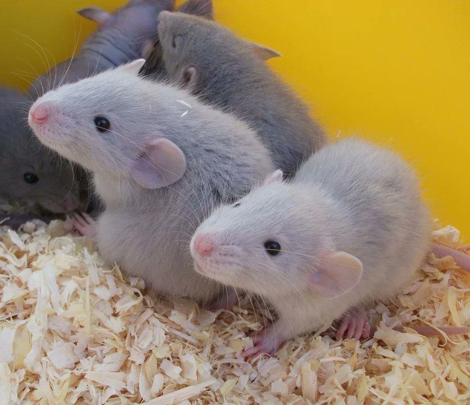 Декоративные крысы — виды, советы по выбору, особенности ухода и содержания в домашних условиях