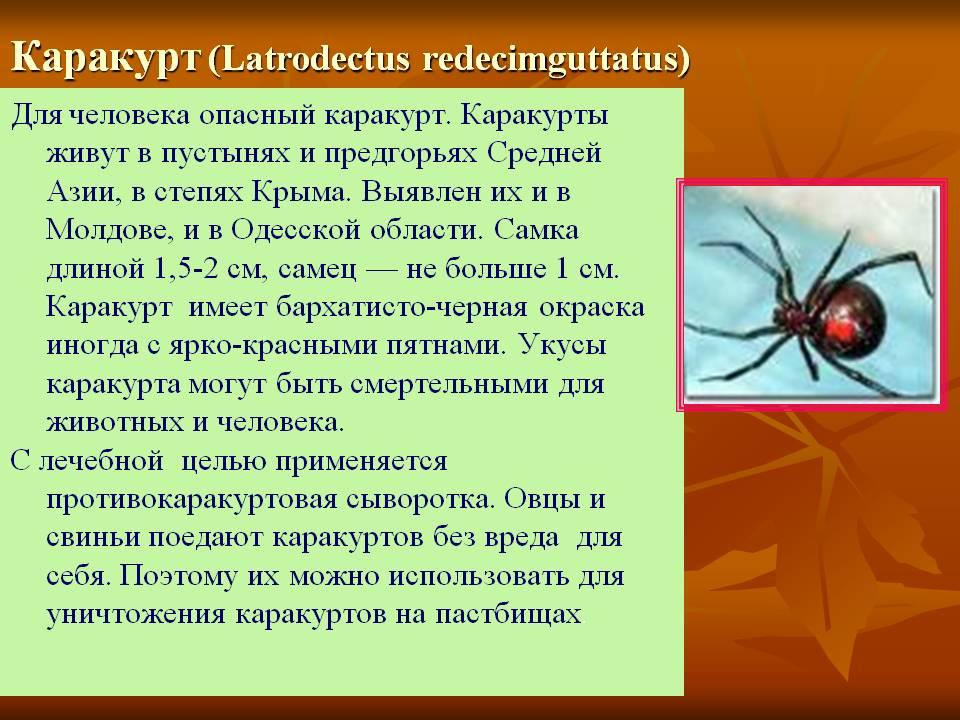 Паук каракурт: виды и свойства белого и чёрного каракурта, защита и лечение от укуса
