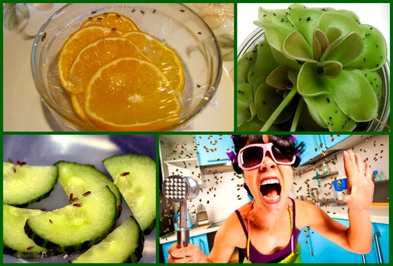 Мошки: как избавиться на кухне, если завелись, откуда дома берутся мелкие фруктовые и иные, как вывести маленьких мух народными средствами, как бороться, и ловушка