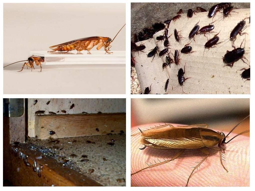 Методы борьбы с тараканами в частном доме