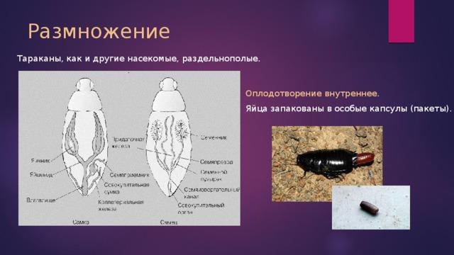 Как выглядит личинка таракана? как избавиться от личинок тараканов